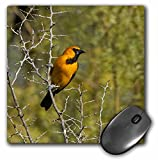 Danita Delimont - Birds - Hooded Oriole male bird, Rio Grande, Texas, USA - US44 LDI0941 - Larry Ditto - MousePad (mp_147040_1)