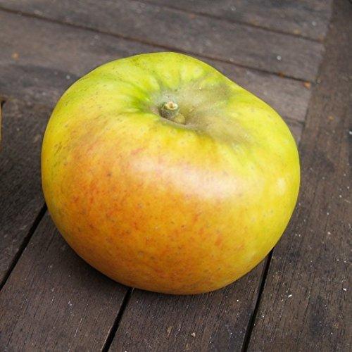 Apfelbaum Goldparmäne historischer Herbstapfel einjährig Buschbaum 5 L Topf schwachwachsend M9