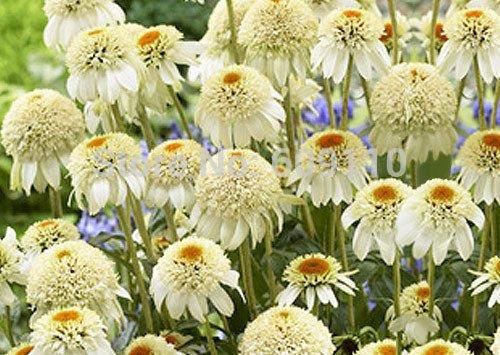 mezcla-de-semillas-50pcs-piezas-de-flores-amarillas-de-color-rosa-purpura-blanca-del-arbol-de-hoja-p