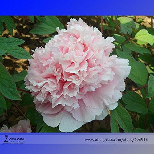 Pinkdose® 2018 Heißer Verkauf Seltene 'Ruan Yu Wen Xiang' Rosa Pfingstrose Subshrub Blumensamen, Professionelle Pack, 5 Samen/Pack, Licht Duftenden Blume E3187