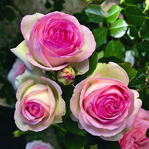 Pierre de ronsard®, rosa rampicante in vaso di rose barni®, pianta di rosa rifiorente a grandi fiori, h. raggiunta fino a 5 metri, pianta resistente alle malattie, leggermente profumata, cod.16071
