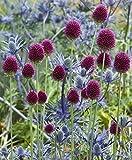 PLAT FIRM GERMINATIONSAMEN: 20 BULBS: ALLIUM sphaerocephalon HARDY PERENNIAL BLUMENZWIEBELN DRUMSTICK ZWIEBELEN Gartenpflanze