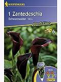 Zantedeschia Calla Schwarzwalder purpur-schwarz