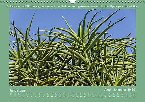 Pflanzen der Bibel (Wandkalender 2019 DIN A3 quer): Eine Auswahl in der Bibel erwähnter Pflanzen mit den passenden Bibelstellen. (Monatskalender, 14 Seiten ) (CALVENDO Glaube)