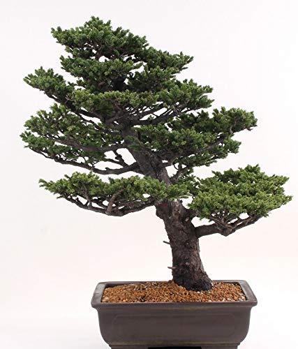 Bonsai - Picea jezoensis, Ajanfichte mit sehr kurzen Nadeln 197/82
