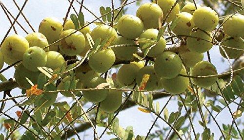 Phyllanthus Emblica, Stachelbeere, 20 Samen
