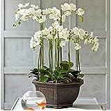 Rari & Real Touch fiori artificiale - orchidea Alice Butterfly 6 steli - Bianco & Verde
