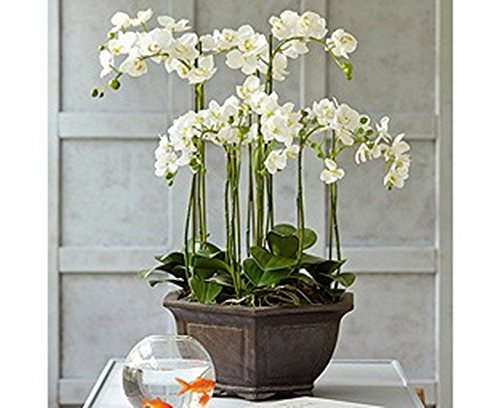 Rari & Real Touch fiori artificiale - orchidea Alice Butterfly 6 steli - Bianco & Verde