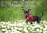 Prager Rattler (Wandkalender 2020 DIN A2 quer): Kleiner Hund mit ganz viel Herz (Monatskalender, 14 Seiten ) (CALVENDO Tiere)