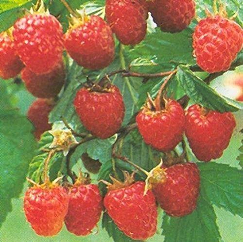 Himbeere Malling Promise Himbeerpflanzen früh tragend aromatisch lecker sehr ertragreich