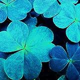 Keptei Samenhaus- Glücksklee Samen Zierpflanzen Vierblättriges Kleeblatt Saatgut getrocknet winterhart,fuer Ihre Freunden und Familien Glück zu bringen (20)