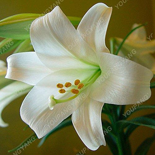 100 / sac blanc péruvien Lily Graines péruvienne Lily Mix (Alstroemeria) Graines de fleurs vivaces pure Bonsai plantes pour jardin Rose