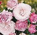 'Rosenfaszination' -R-, Beetrose, ADR-Rose im 4-Liter-Container von Rosen-Union - Du und dein Garten