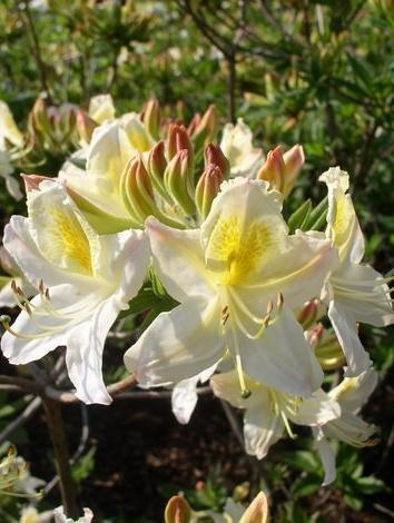 weiss-mit-gelbem-fleck-bluhende-garten-azalee-rhododendron-luteum-daviesii-50-cm-hoch-im-5-liter-pfl