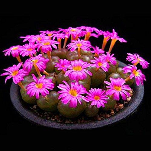 Générique Generic Purple Succulents Lithops Seed Jardin Plantation Bureau Balcon Décoration Fleurs-100 Pcs/Sachet
