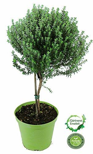 Thymian Stämmchen - Baum - Stamm, Thymian Kräuter Pflanze, Marktfrische Qualität !