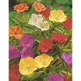 Wunderblumen gemischt Mirabilis jalapa Knollen Blumenzwiebeln (5 Knollen)