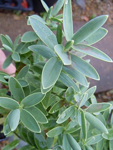 Portal Cool 3 X Hebe Hardy Albicans arbustes en Pots à Feuilles persistantes 6-10 Pouces
