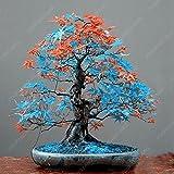 50 Semi / pacchetto giapponese acero rosso Semi rari Arcobaleno Belle Giappone Bonsai Piante nuovi semi giardino Osservare regalo Albero dei bonsai