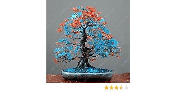 pacchetto giapponese acero rosso Semi rari Arcobaleno Belle Giappone Bonsai Piante nuovi semi giardino Osservare regalo Albero dei bonsai 50 Semi