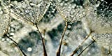 Artland Qualitätsbilder I Alu Dibond Bilder Alu Art 100 x 50 cm Botanik Blumen Pusteblume Foto Grau B6PK Pusteblume Regenschauer