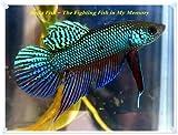 Betta Fish – The Fighting Fish in My Memory