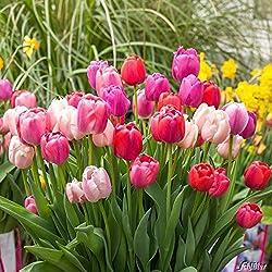 Tulpenzwiebeln Big Pride Mischung Lila-Rot-Weiß - Blumenzwiebeln, mehrjährig & robust- Darwin-Hybrid Tulpe Big Pride Mischung - 17 Tulpen-Zwiebeln von Garten Schlüter - Pflanzen in Top Qualität