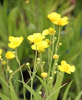 Wasserpflanzen Wolff - Ranunculus lingua - Sumpfhahnenfuß - Zungenhahnenfuß, gelb von Wasserpflanzen Wolff - Du und dein Garten