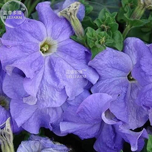 PLAT FIRM Germination Les graines PLATFIRM-AMZT - 200pcs / sac Picotee Blue  Morning Glory Seeds, Graines rares pétunia, Graines Bonsai fleurs, des