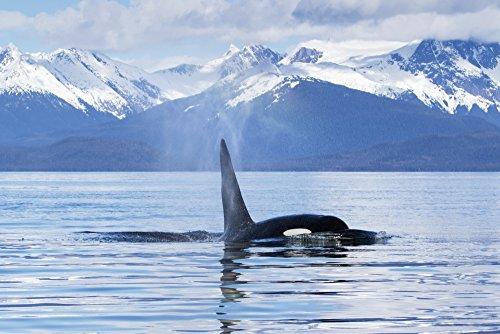 John Hyde / Design Pics – An Orca Whale (Killer Whale) (Orcinus orca) surfaces near Juneau Lynn Canal Chilkat Mountains Inside Passage; Alaska United States of America Kunstdruck (86,36 x 55,88 cm)