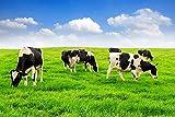 Kühe Kuh Weide Wiese XXL Wandbild Kunstdruck Foto Poster P0681 Größe 150 cm x 100 cm, Größe 150 cm x 100 cm