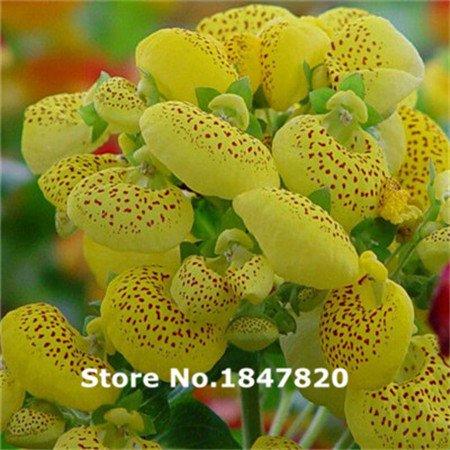 Semillas de girasol gigante de Mongolia, 20 semillas comestibles, herencia girasoles ornamentales E3564