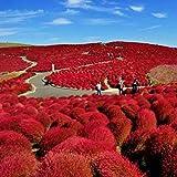 Soteer Garten- 200 Stück Exotic Ziergras Samen Bärenfellgras Bodendecker winterhart mehrjährig bunt, Japan-segge Besenkraut Bassia scoparia Saatgut