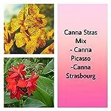 Canna Stras Mix (2Leuchtmittel/Rhizom/2–3Augen) gedeiht in Hitze und Luftfeuchtigkeit