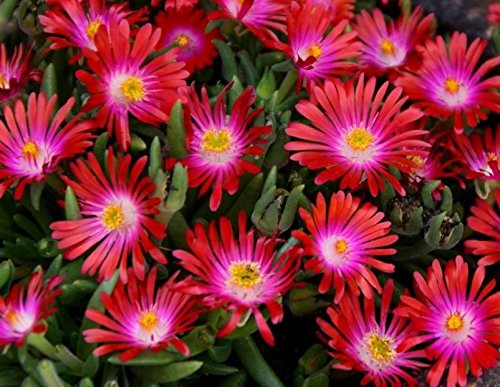 pack-x6-delosperma-jewel-of-desert-garnet-perennial-rockery-garden-plug-plants