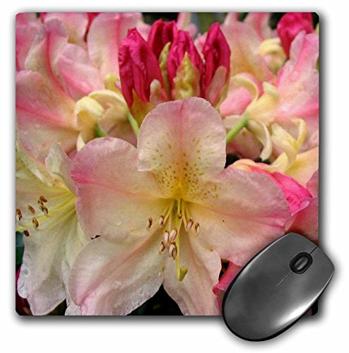 3drose-llc-8-x-8-x-025-inches-rhododendron-mouse-pad-mp-3144-1
