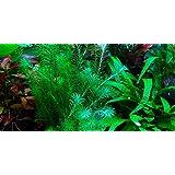 Mayaca fluviatilis - 1 Bouquet - Plante Vivante pour Aquarium