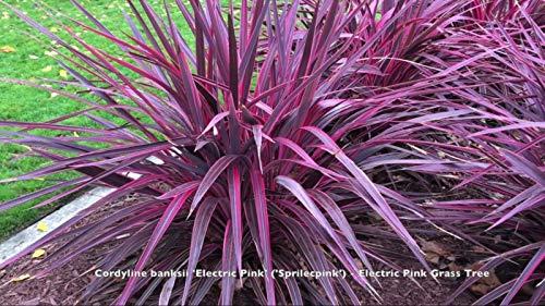 1 g Live-dyline nksii Elektrisches Rosa Sprilecpink Grass 1 bis 2,5 Meter by Farmerly - Rosa Grass