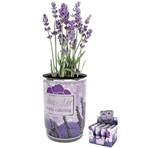 Boxer Gifts Grow Your Own Lavender