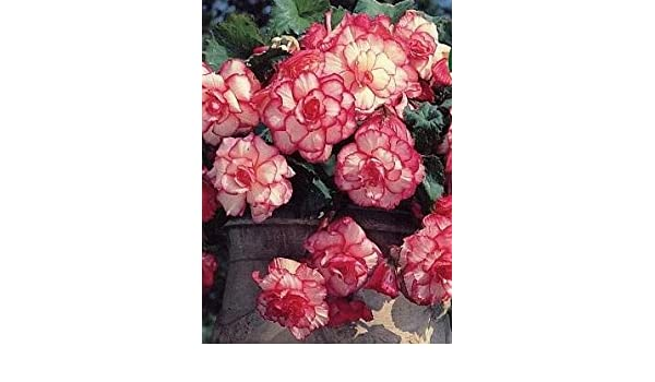 Begonia Exotic Babylon x 3 Bulbs