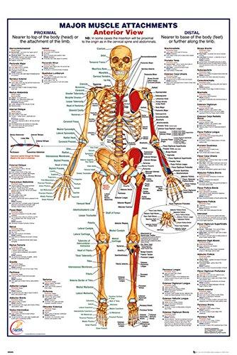 Educational - HThe Human Body Anterior Muscle Muskeln - Poster Anatomie - Grösse 61x91,5 cm + 2 St. Posterleisten Holz 61,5 cm