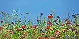 Artland Qualitätsbilder I Glasbilder Deko Glas Bilder 100 x 50 cm Botanik Blumenwiese Foto Blau D5OT Blumenwiese
