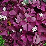 Sisaki Seed,20 pcs Oxalis triangularis graines de purple,ornementales plante bonsai graines de fleurs pour décoration de maison pour accueil, jardin,patio,cour