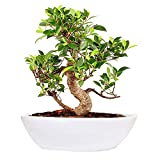 The Bonsai Plants Attractive S Shape Ficus Bonsai Tree 7 Year Old