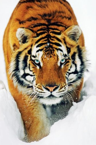 Animal Maxi Poster featuring a Stunning Tiger Stalking Through the Snow 61x91.5cm by Grindstore