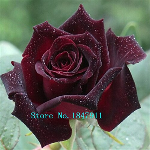 Galleria fotografica Grande vendita True Blood rari semi rosa nera, Rare Sorprendentemente Bella Black Roses Red Bordo seme di fiore 100 parti / lotto