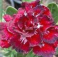 AIMADO-GartenClematis Kletterpflanze Samen 1 Pflanze winterhart ClematisOnline Kletterpflanzen & Blumen von AIMADO auf Du und dein Garten