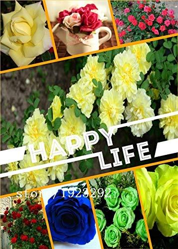 AGROBITS 100 Viola Drago Rosa semina, bella striscia Rare cespuglio di rose pianta, giardino o fiore cortile: Multi-Colored