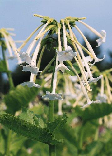 JustSeed Blume Nicotiana Sylvestris wei Trompeten 1000 Samen