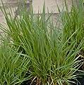 lichtnelke - Zittergras (Briza media) von Lichtnelke Pflanzenversand - Du und dein Garten